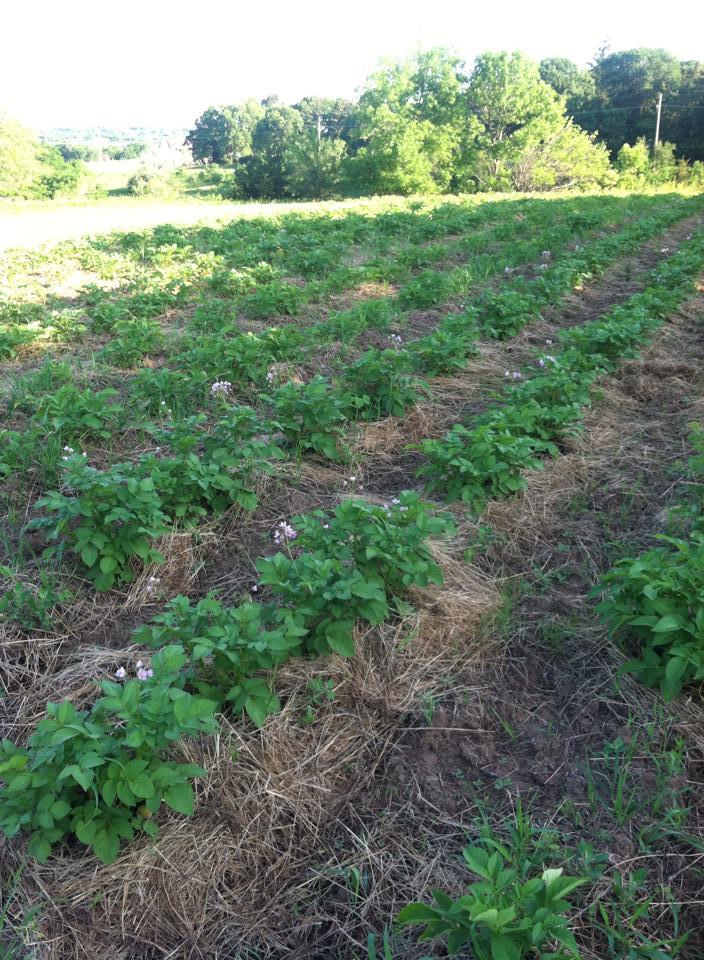 community garden potato